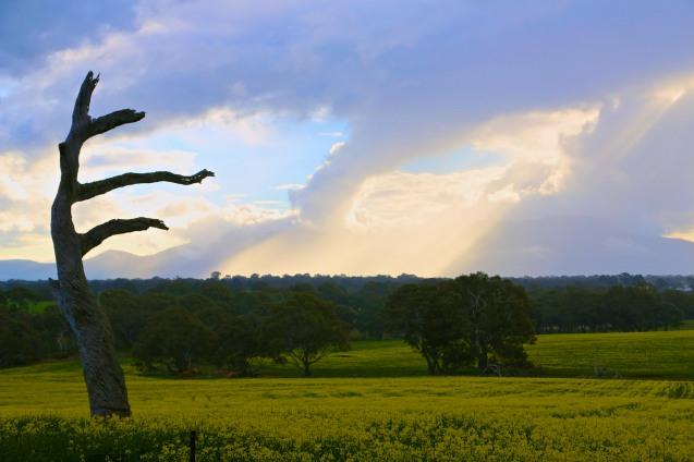Canola fields after rain, beautiful sky