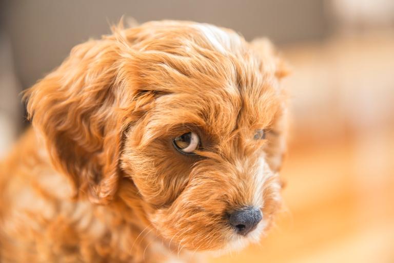 Cavoodle Puppy
