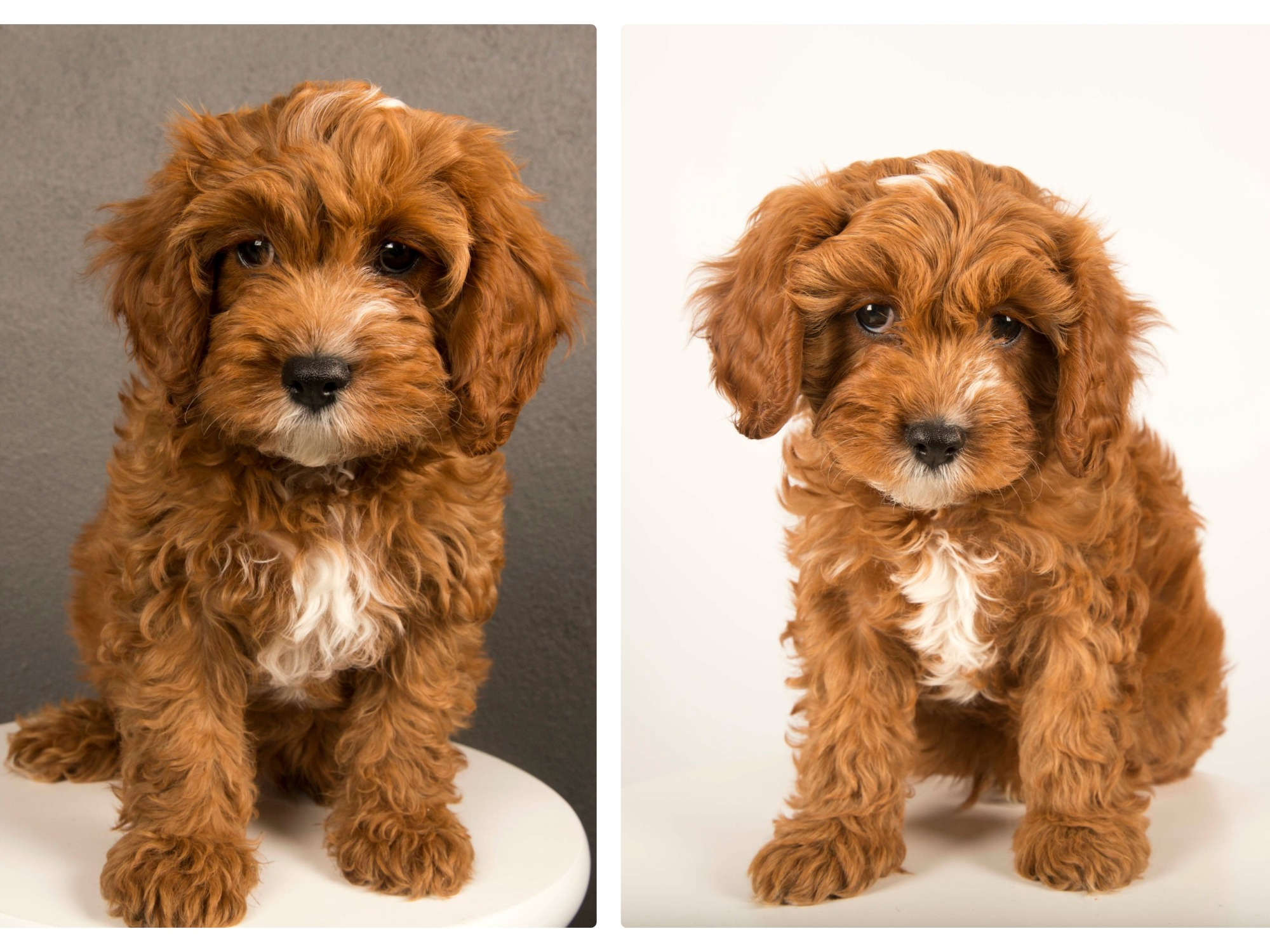 Harley the cavoodle