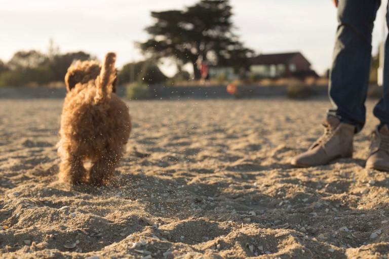 #harleythecavoodle, Beach dog