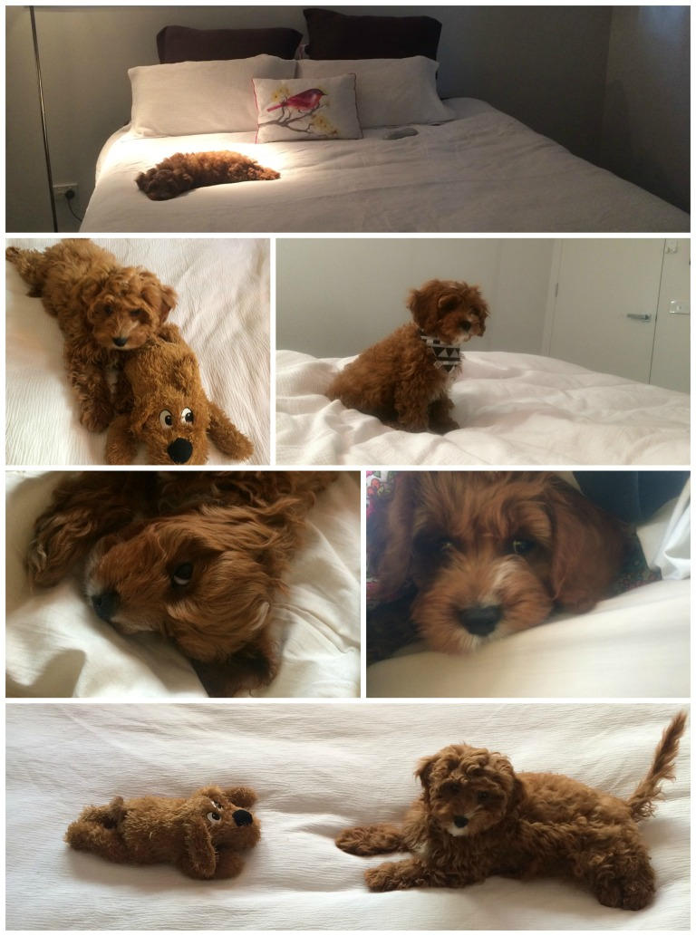 #Harleythecavoodle, Cavoodle in bed