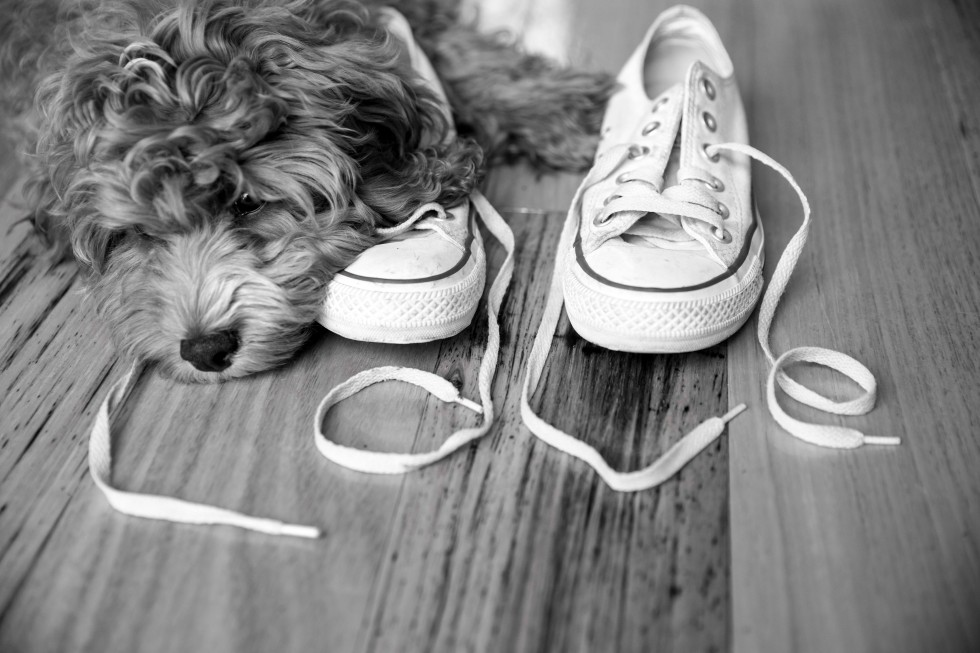 CONVERSE, Harley the cavoodle